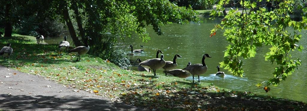 Bernaches au lac des Ibis
